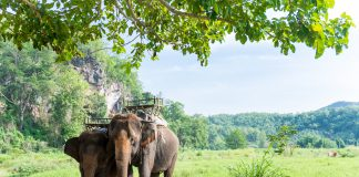 Elephas maximus indicus Cuvier to carry for tourist jungle trail, Volunteer tourism in Thailand