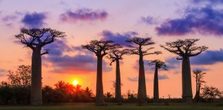 Beautiful Baobab trees at baobabs in Madagascar, things to see in Madagascar