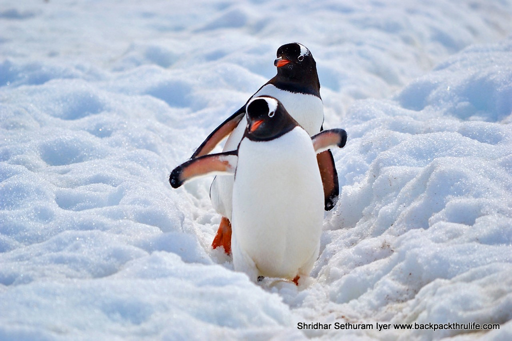 -Antarctica-Penguins on Ice