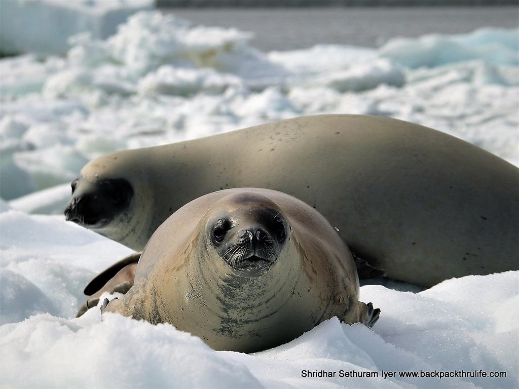 134-Antarctica-Seals on Stare (7)