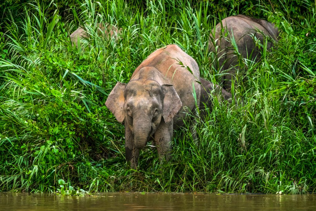 This is the world's smallest elephant found in Borneo only. Along the Kinabatangan river in Sabah, Malaysia Borneo at sunset.