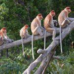 Short Glimpse of the Long Noses- The Proboscis at Kota Klias l Sabah l Malaysia