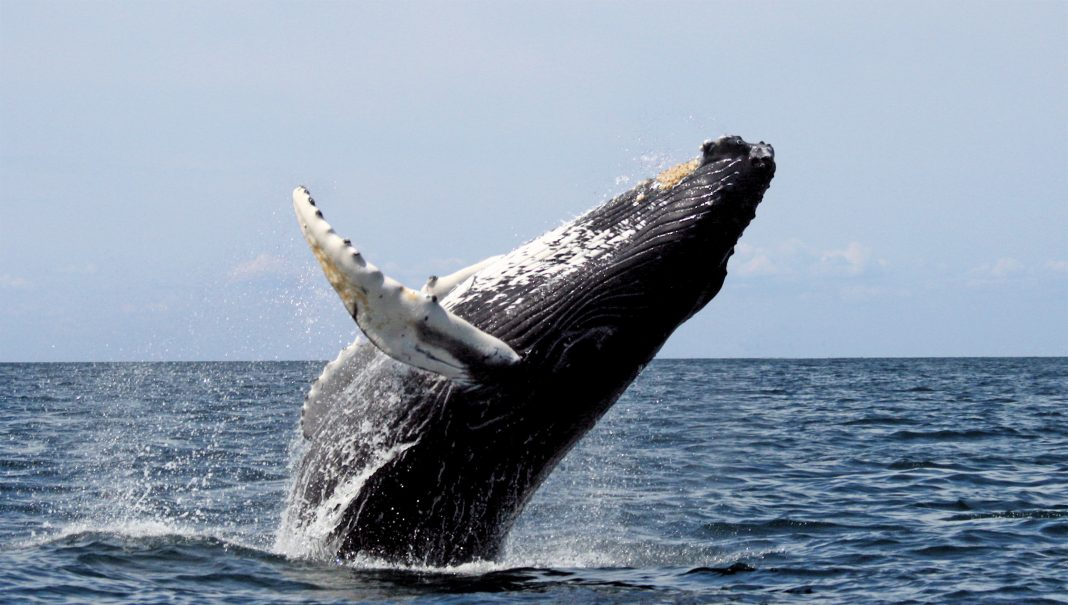 A humpback whale in Skjálfandi Bay