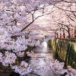 Cherry Blossoms Signal Spring Has Come To Japan