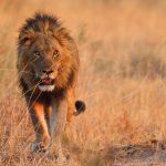 Lions Reintroduced to Liwonde National Park in Malawi