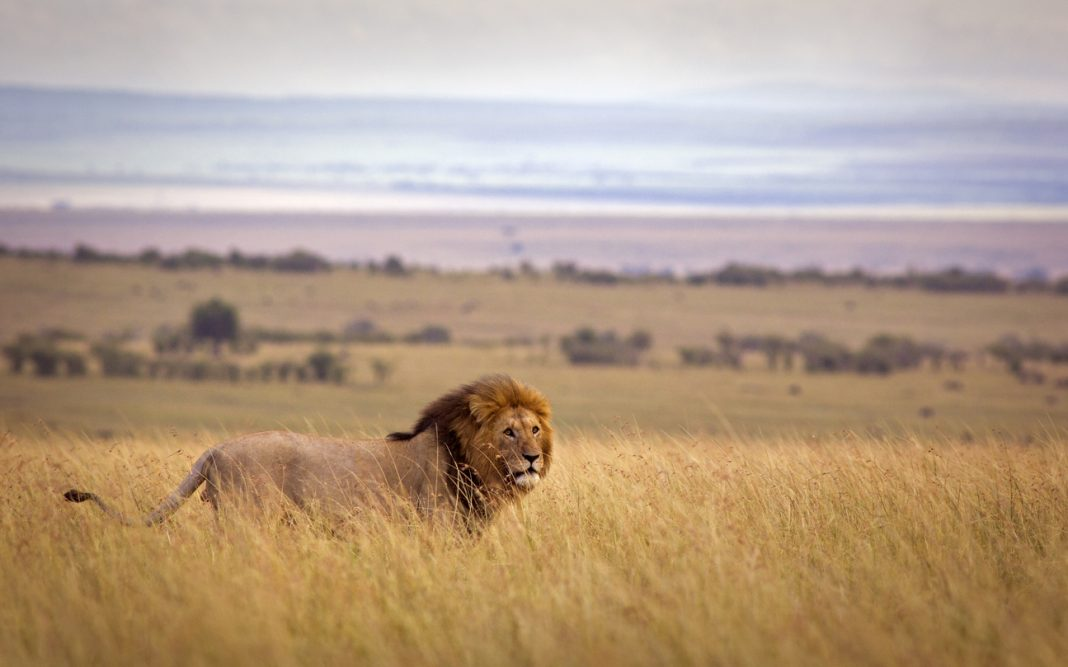 A lion in Masai Mara, Kenya, where they have significantly boosted the tourism