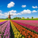 Tulip Season Begins in The Netherlands
