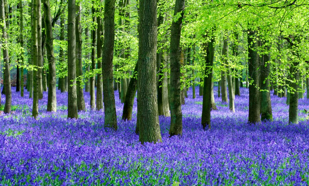 Bluebells-and-Beech-trees-natural-setting