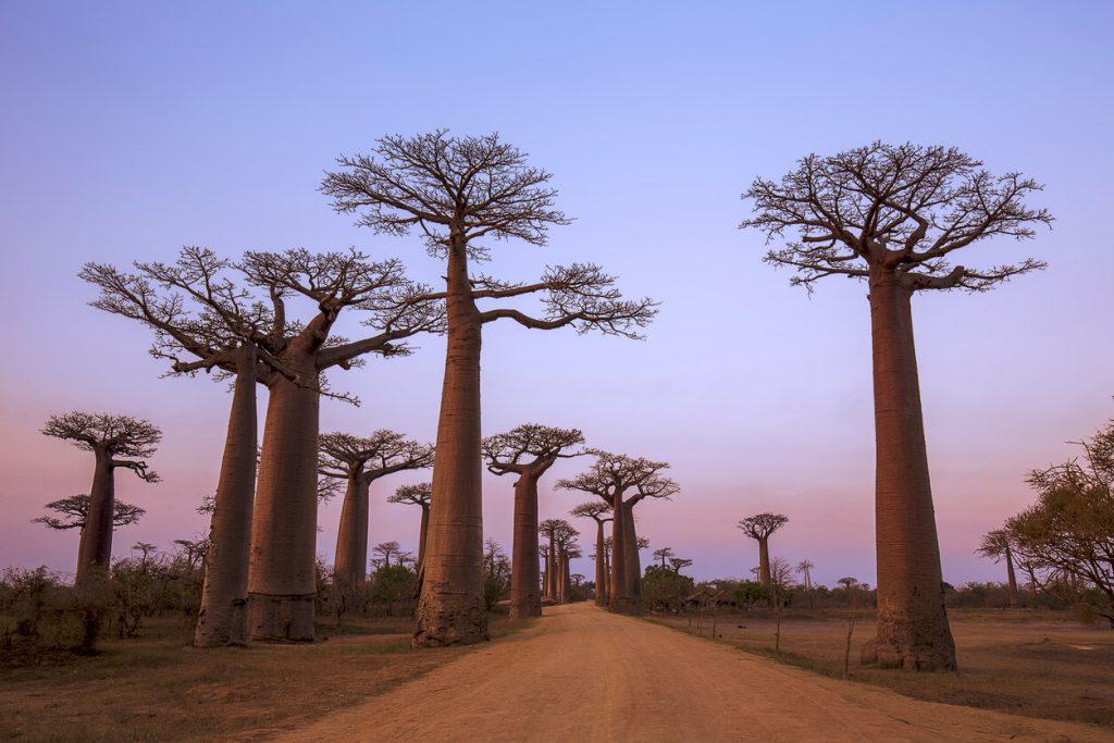 Baobab Avenue Africa