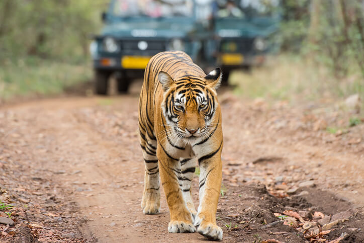 Ranthambore National Park is famous for its Bengal Tiger population