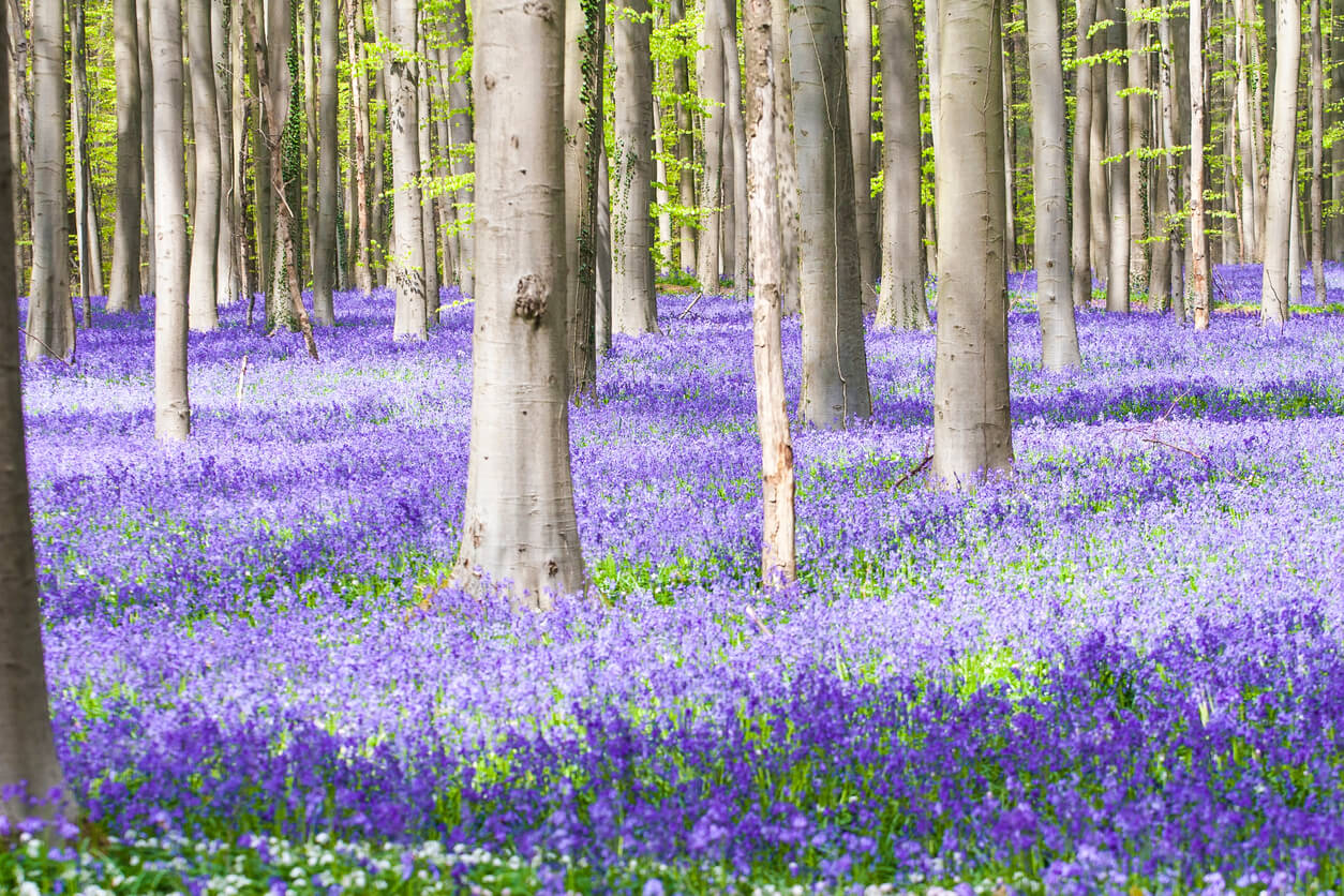 Springtime Covers A Forest In Belgium With Blue Flowers Travel Earth