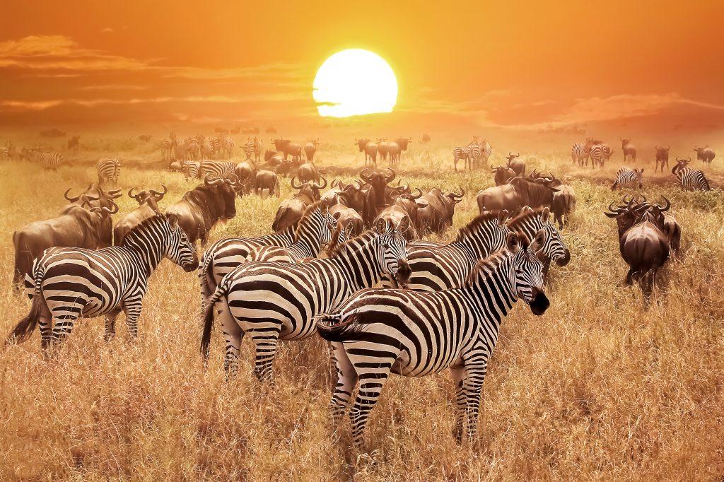 Zebras at sunset in the Serengeti National Park, Tanzania.