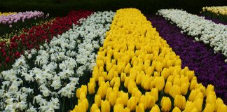 Rows of tulips, springtime in Amsterdam