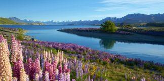 Lupins near Lake Tekapo, on New Zealand's South Island