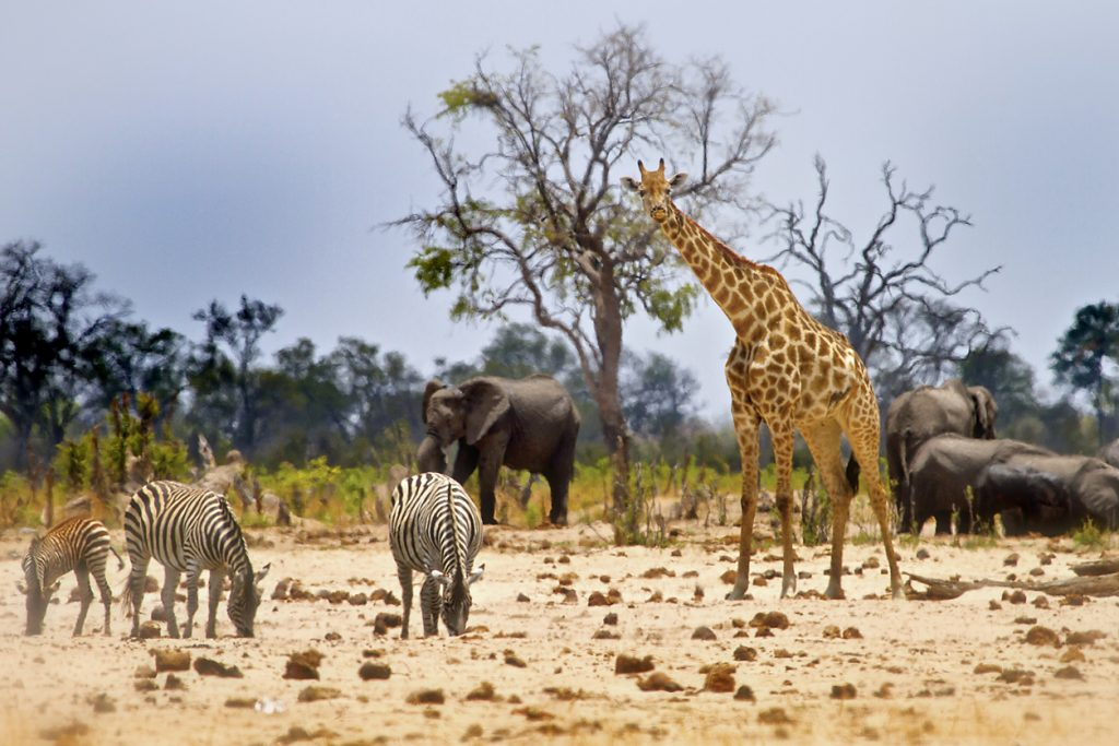 Hwange National Park, Zimbabwe, is a great destination for a safari in africa
