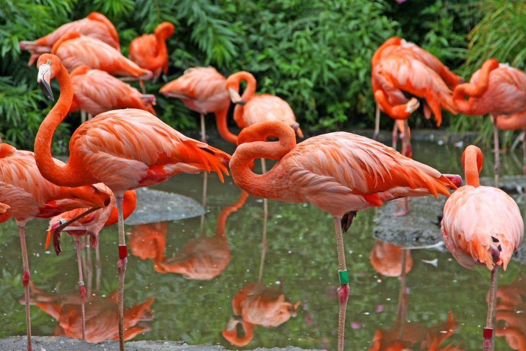 Flamingos Aruba