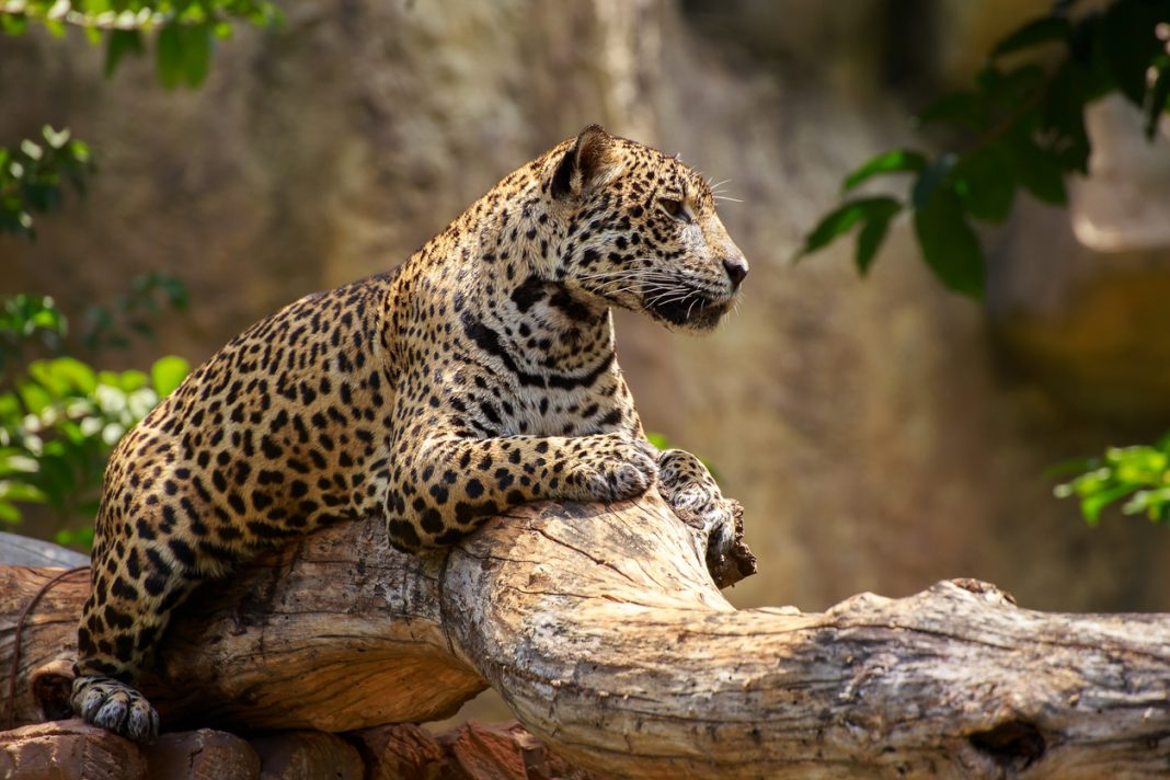 Brazil Jaguar wildlife travel