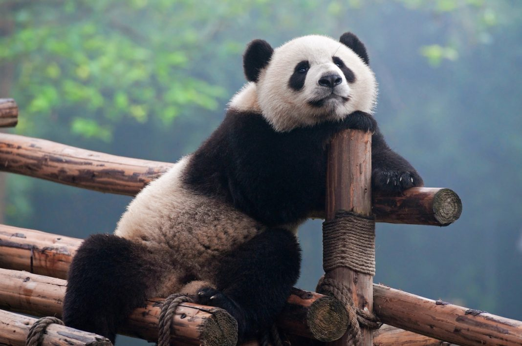 Cute panda China