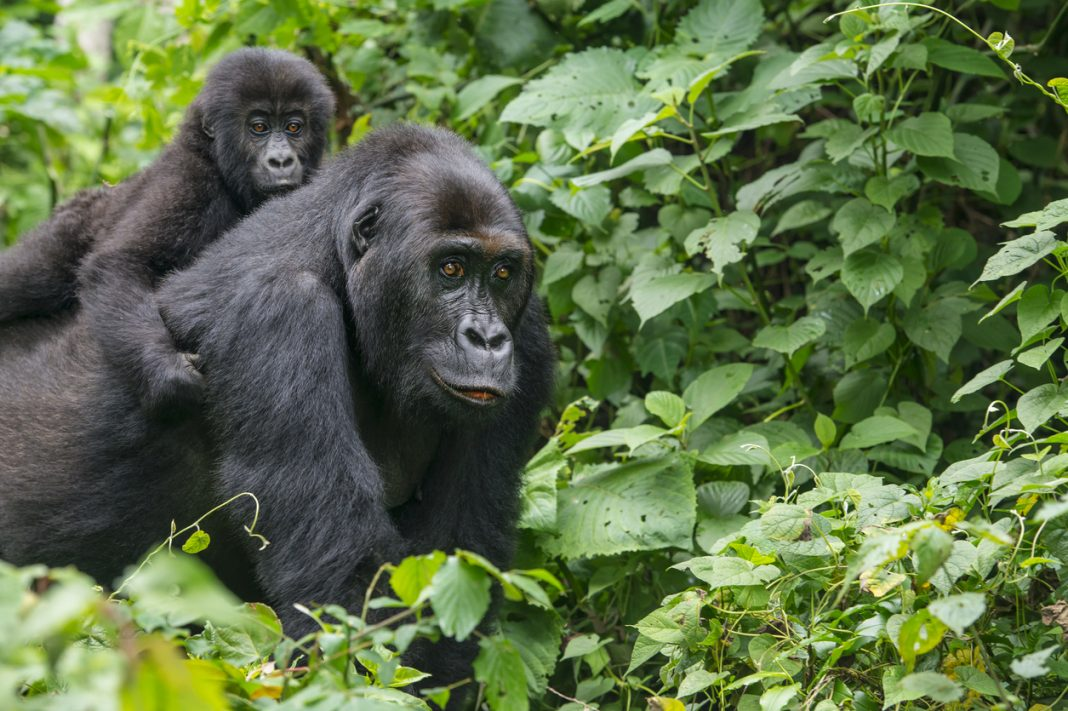 Congo Lowland Gorilla, critically endangered animals