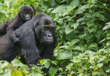 Congo Lowland Gorilla, critically endangered animals