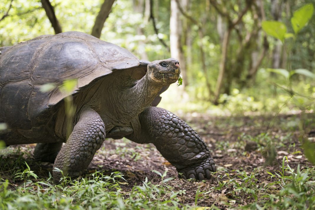 Galapagos Giant Tortoise Turtle, Galapagos Islands, Ecuador
