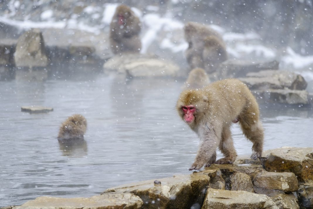 Japanese Macaque Monkeys (Snow Monkeys) Japan