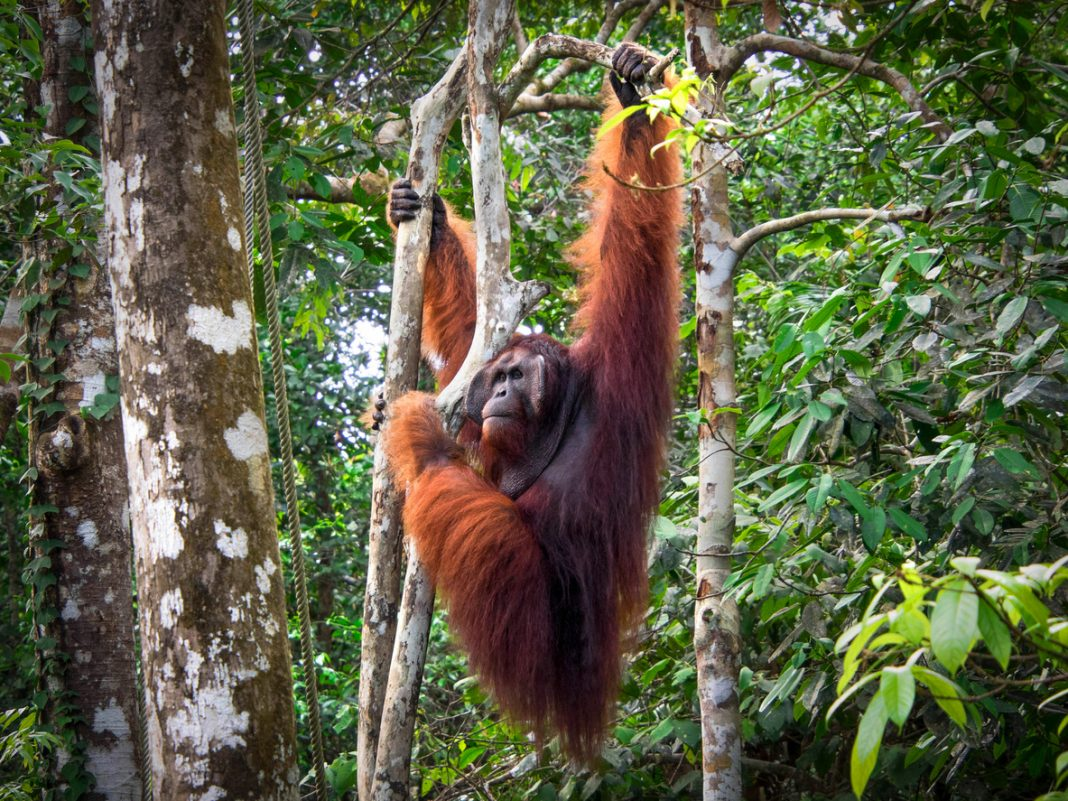 Borneo Orangutan Mlaysia