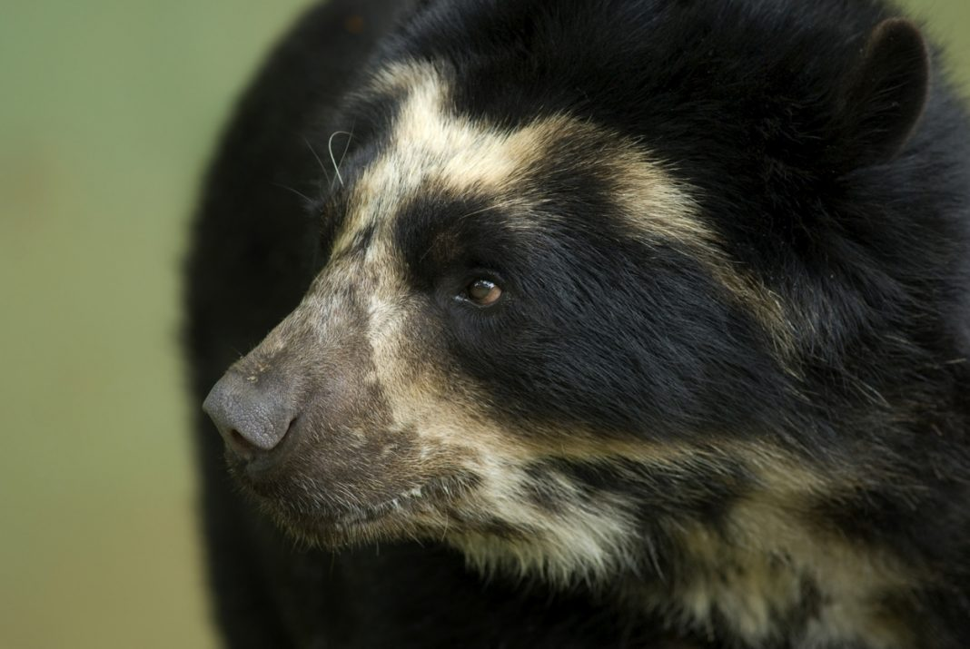 Spectacled Bear Peru