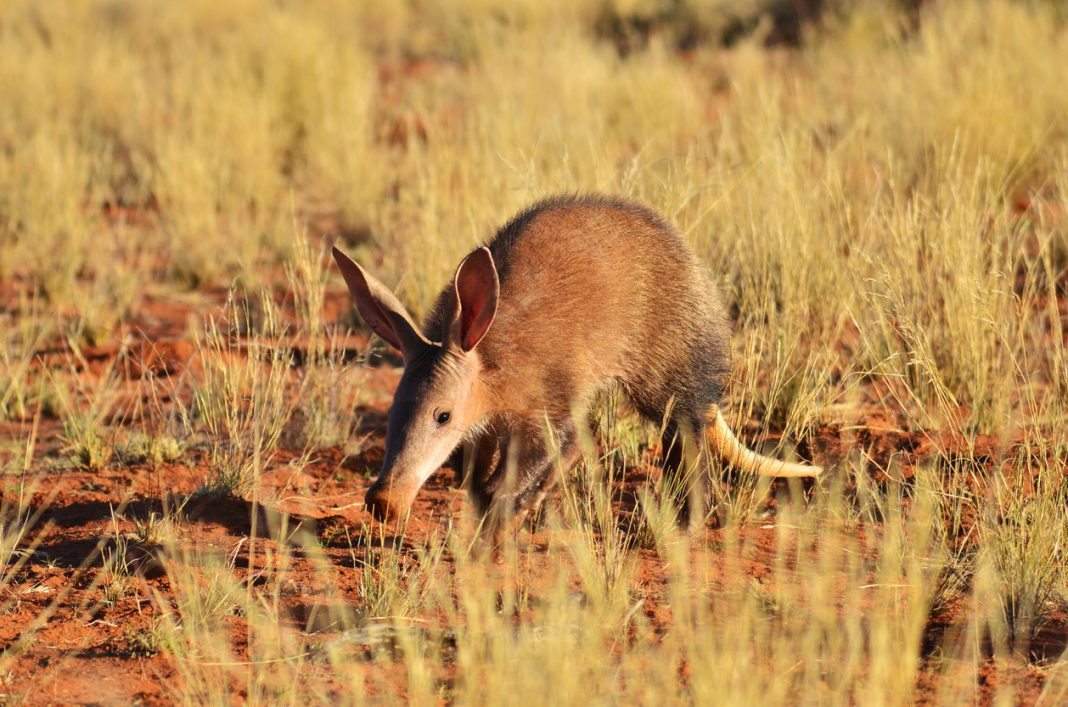 Aardvark South Africa