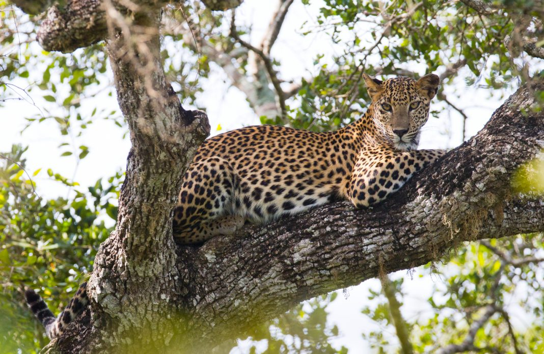 leopard lies on a large tree branch. Sri Lanka