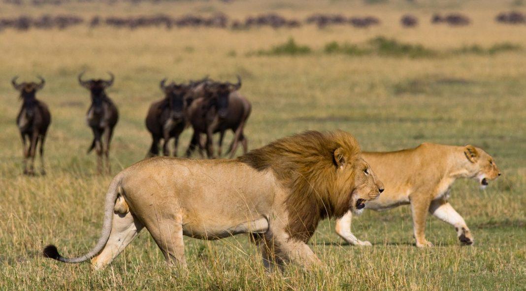Kenya. Tanzania. Masai Mara. Serengeti. Lions Wildebeest