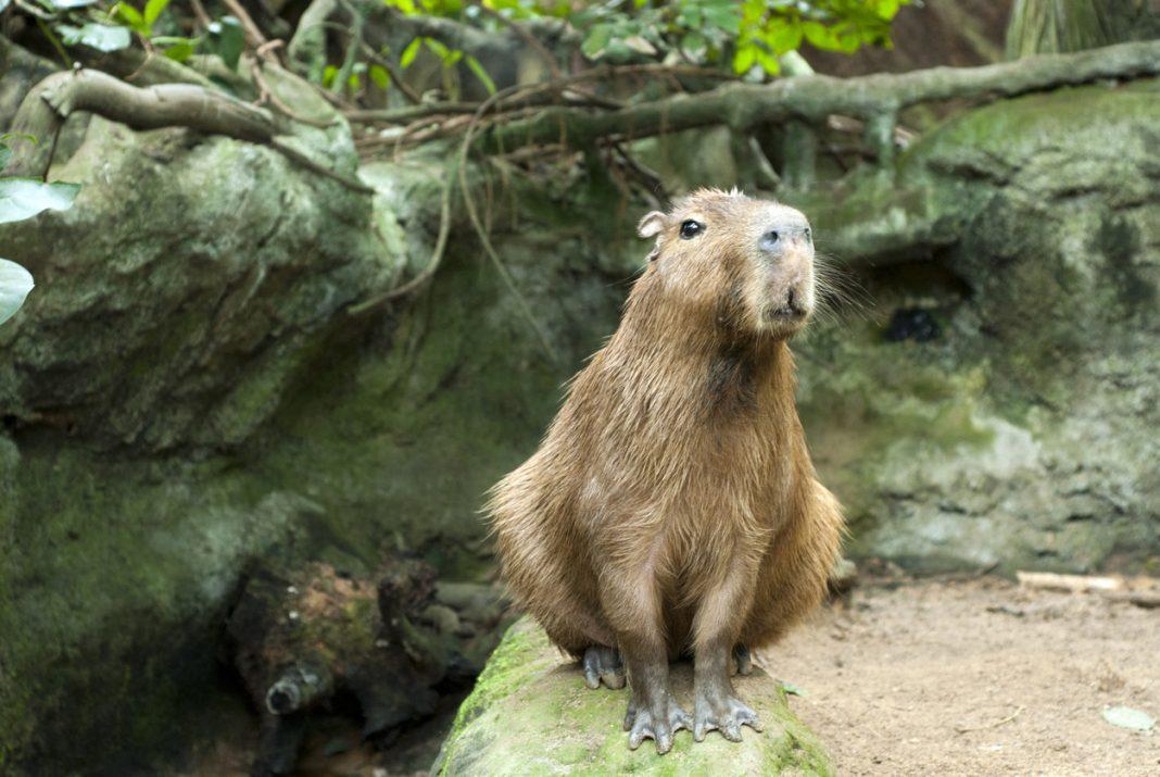 Capybara Venezuala