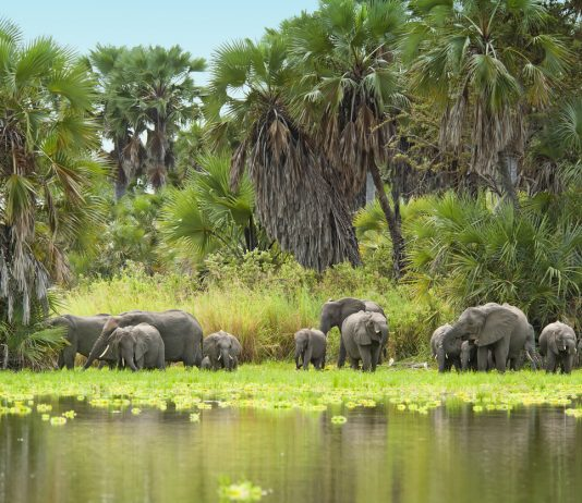 A herd of African Elephants (Loxodonta) is approaching the shore of Lake Manze to drink water. Shot in wildlife at Lake Manze, Selous Game Reserve, Southern Tanzania.
