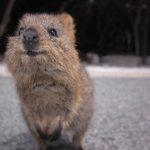 Meet the Happiest Animal: Rottnest Island's Tourism sensation