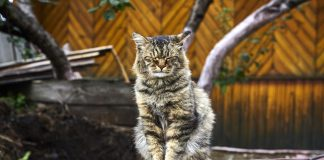 Old furry Siberian cat with closed eyes