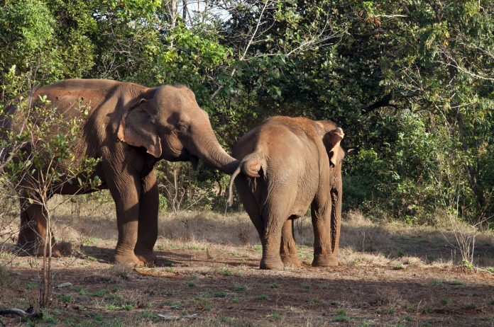 Elephants with red soil on their backs from protection from sun and insects