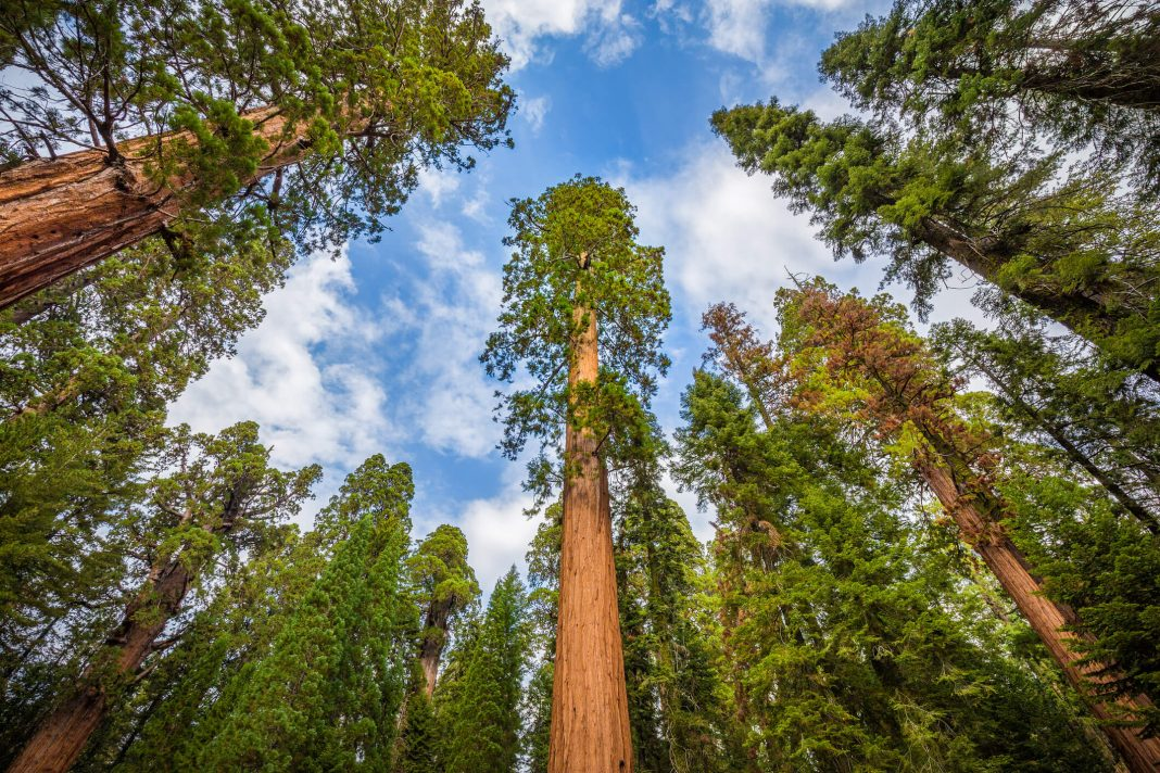Famous giant sequoia trees in Sequoia National Park, California, USA