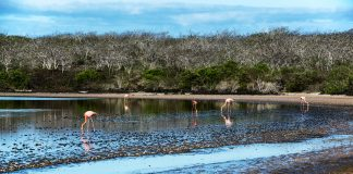 Flamingos feeding in the lake at Punta Comorant on Floreana Island in the Galapagos Islands, Ecuador.