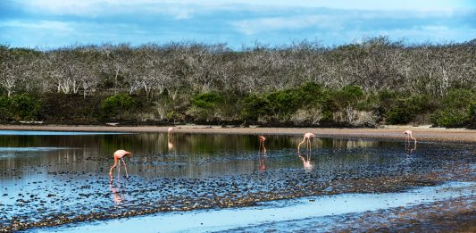 Flamingos feeding in the lake at Punta Comorant on Floreana Island in the Galapagos Islands, Ecuador.