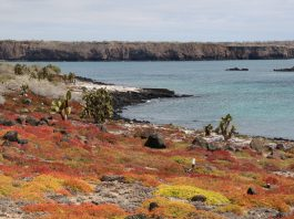 Galapagos Carpet Weed (Sesuvium edmonstonei) and Galápagos prickly pear (Opuntia echios) add colour to the shoreline of South Plaza Island.