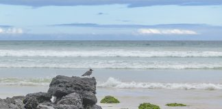 Grey bird at rocks on a beach, Galapagos, Ecuador