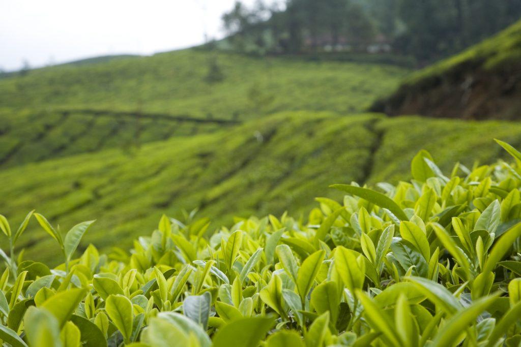 Tea Plantation, Assam, Assam tourism