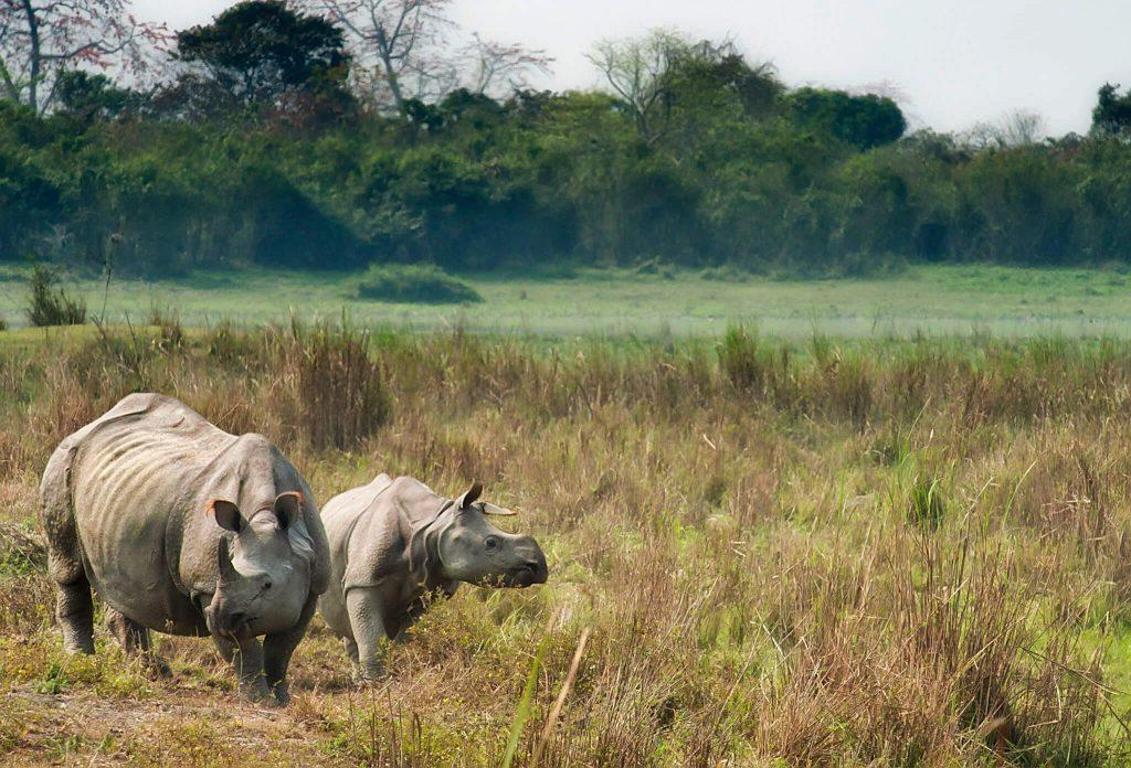 Asian rhino, India, Kaziranga National Park, Assam - Assam tourism