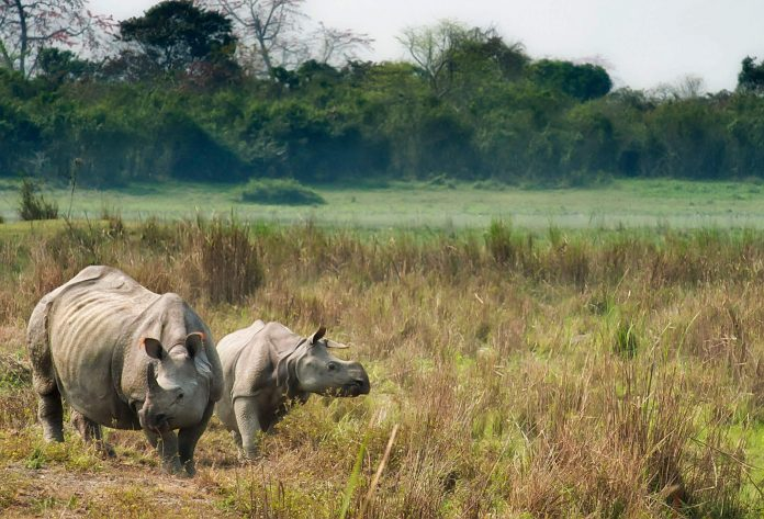 Asian rhino, India, Kaziranga National Park, Assam, Wildlife Safaris