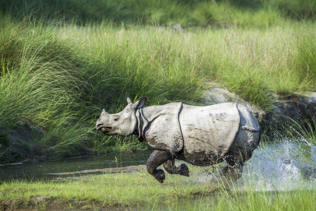 Greater One-horned Rhinoceros in Kaziranga national park, assam india