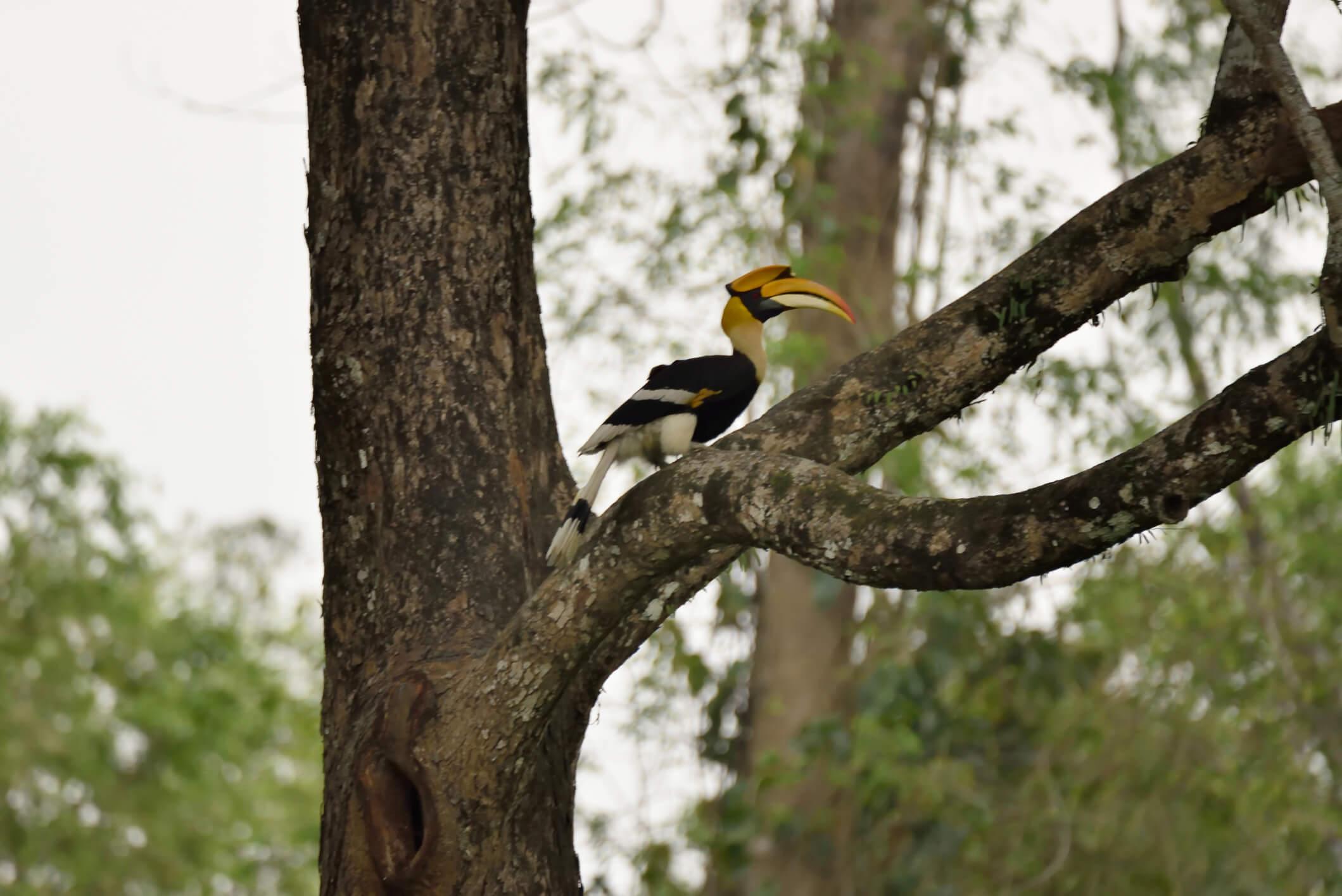 A Great Hornbill perched on a tree in Assam - Assam tourism