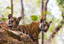 Biggest Cats, Bengal Tigers in Bandhavgarh NP, India, Wildlife Safaris, Long Weekends