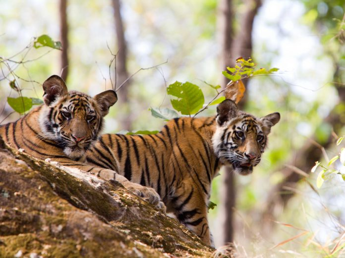 Bengal Tigers in Bandhavgarh NP, India, Wildlife Safaris