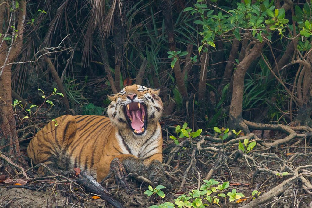 Biggest Cats, Bengal Tiger in Sundarbans tiger reserves in india, what is ecotourism
