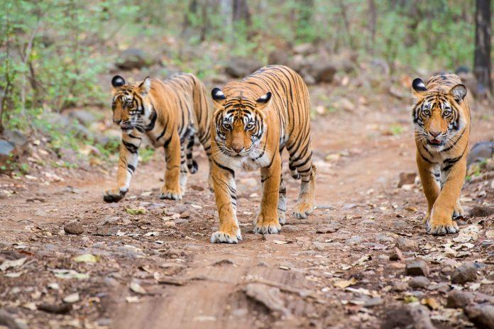 Bengal tigers (Panthera tigris tigris) in Ranthambhore National Park, Wildlife safaris